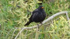 Blackbird sitting on tree branch Stock Footage