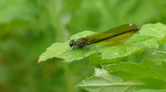 Dragonfly on leaf Stock Footage