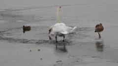 Feeding swan on frozen pond Stock Footage