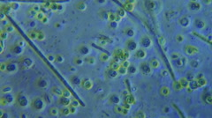Unicellular Plant Life and Protozoa Time Lapse 800x Magnification Stock Footage