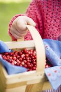 Child's hand holding cranberries in woodchip basket Stock Photos