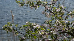 Lake and wild rose Stock Footage