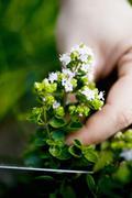 Hand holding flowering marjoram Stock Photos