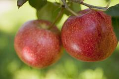 Two Gala apples on a branch Stock Photos