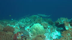 Whitetip reef shark on a coral reef. 4k Stock Footage