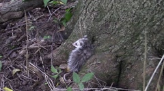 Baby opossum leaning on a tree in forest zoom in Stock Footage