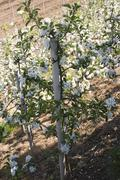 Young apple trees in blossom Stock Photos