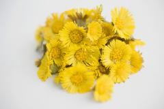 Coltsfoot flowers Stock Photos