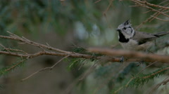 Crested tit on a spruce branch. Stock Footage