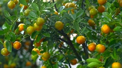 Blooming orange tree with fruits on orange farm Stock Footage