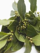 Fresh bay leaves Stock Photos