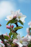 Apple blossom on the tree Stock Photos
