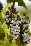 Veraison (ripening process, grapes changing colour) Stock Photos