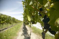 Rows of vines under bird netting, New Zealand Stock Photos