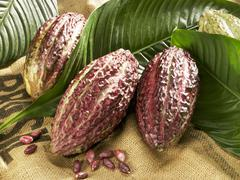 Cacao fruits with leaves Stock Photos