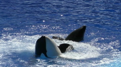Killer whales slow motion Stock Footage