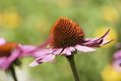 Flowering red echinacea Stock Photos