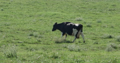 Cow Thats Black and White Walking on Farmers Grass Field, 4K Stock Footage