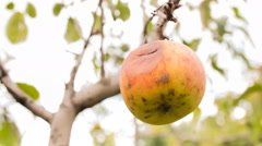 Red apple on apple tree branch CINEMAGRAPH Stock Footage
