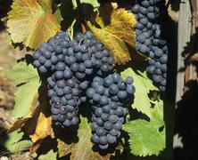 Black grapes and vine leaves with autumn tints Stock Photos