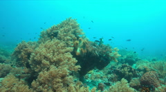 Coral reef with a Titan Triggerfish. 4k Stock Footage