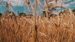Wheat Field and Spikelets Stock Footage