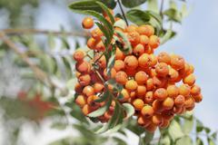 Rowan berries on branch Stock Photos
