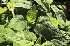 Fruit-scented sage (Salvia dorisiana) Stock Photos