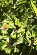 Pineapple sage (Salvia rutilans, Salvia elegans) Stock Photos