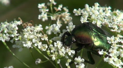 Green rose chafer on flowering plant Stock Footage