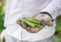 Hand clad in gardening gloves holding fava bean pods (Vicia faba) Stock Photos
