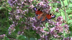 Peacock butterfly and bumblebee on oregano Stock Footage