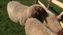 Child stroking sheep in enclosure Stock Footage