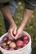 A Man Rinsing Fresh Picked Apples in a Bucket of Water Stock Photos