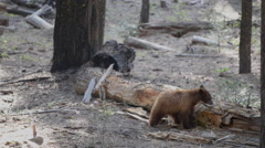 Adult Black Bear and a Cub Yosemite National Park California Stock Footage