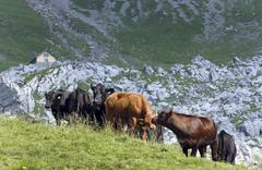 Angus cows in an Alpine meadow (Switzerland) Stock Photos