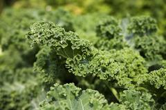 Kale in the vegetable plot (close-up) Stock Photos