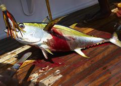 A freshly caught yellowfin tuna on a boat Stock Photos