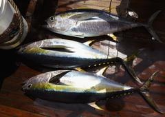 Freshly caught yellowfin tuna on a boat Stock Photos