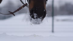 CLOSE UP: Dark bay horse playing with fresh snow in beautiful white winter Stock Footage