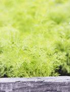 Dill (anethum graveolens) growing in a garden Stock Photos