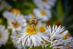 A bee on a white echinacea flower Stock Photos