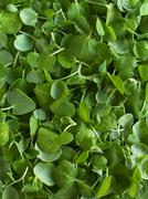 Fresh Bunch of Upland Cress on White Background Stock Photos