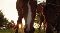 SLOW MOTION, CLOSE UP: Beautiful curious horse family sniffing and observing Stock Footage