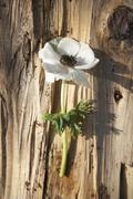 A white anemone on a piece of bark Stock Photos