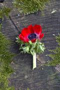 A red anemone on a tree stump Stock Photos
