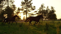 SLOW MOTION: Group of young horses running on meadow field at golden sunset Stock Footage