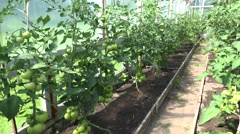 Bunches with green raw unripe tomatoes that growing in farm greenhouse. 4K Stock Footage