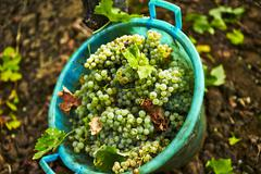 A bucket of freshly harvested grapes Stock Photos