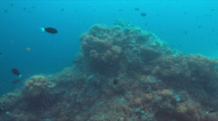 Harlequin sweetlips and a green sea turtle on a coral reef Stock Footage